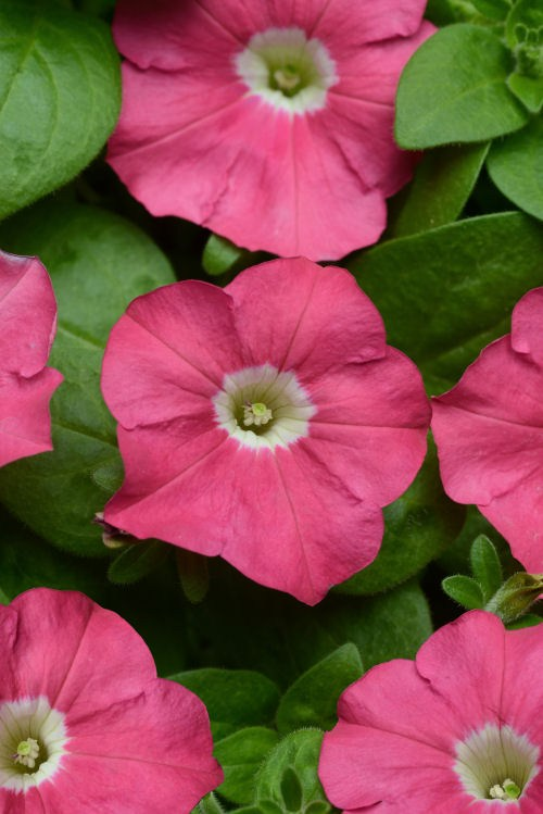 petunia_carpet_rose