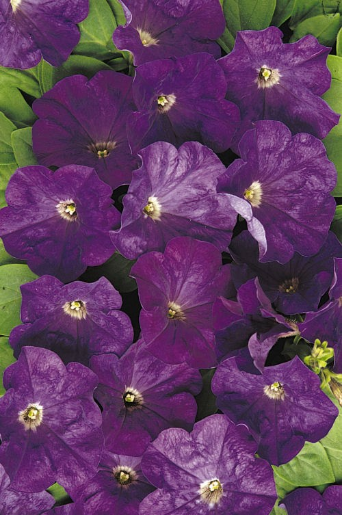 petunia_carpet_true_blue