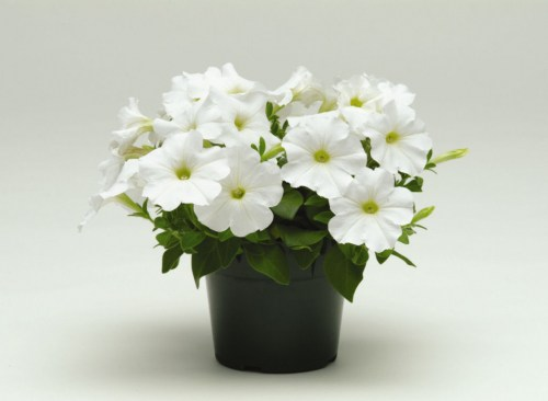 petunia_carpet_white