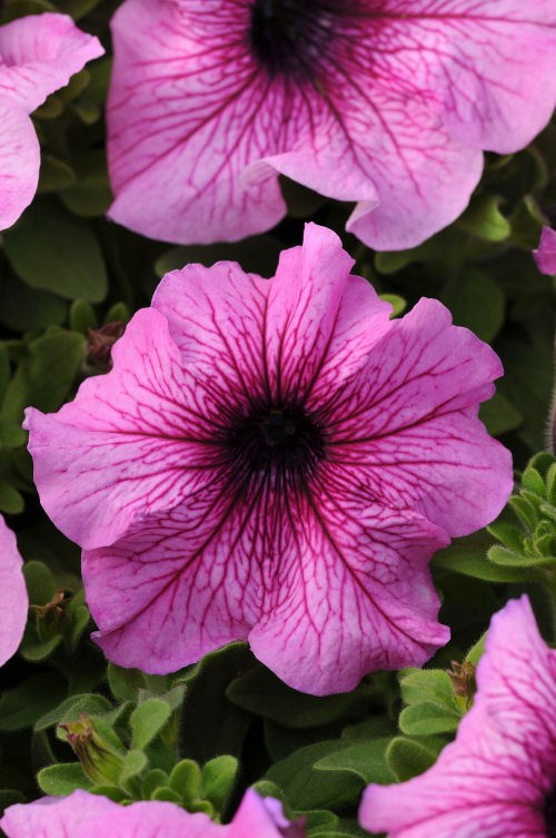 petunia_daddy_orchid