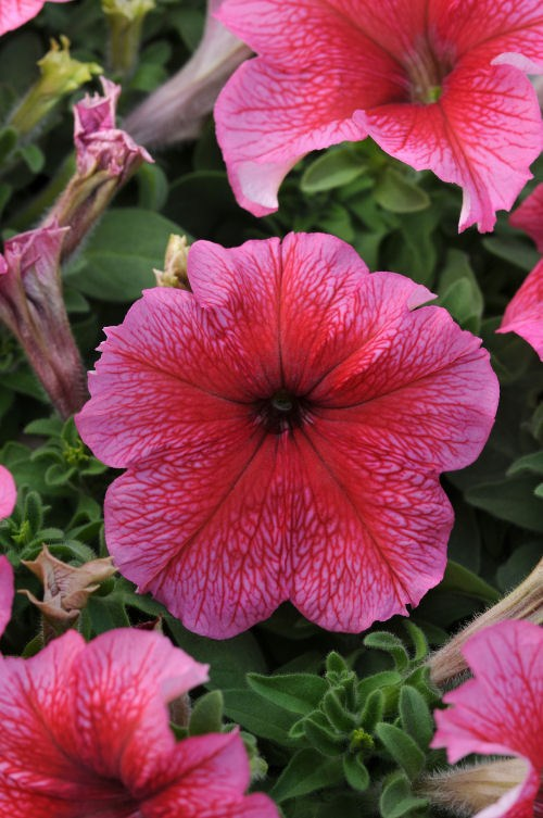 petunia_daddy_red