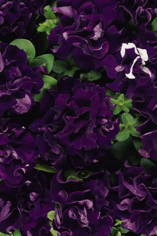 petunia_double_cascade_blue