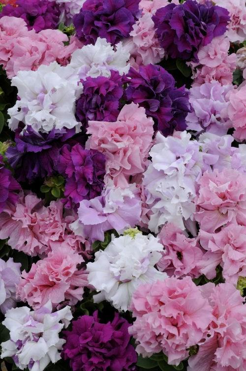 petunia_double_cascade_mix