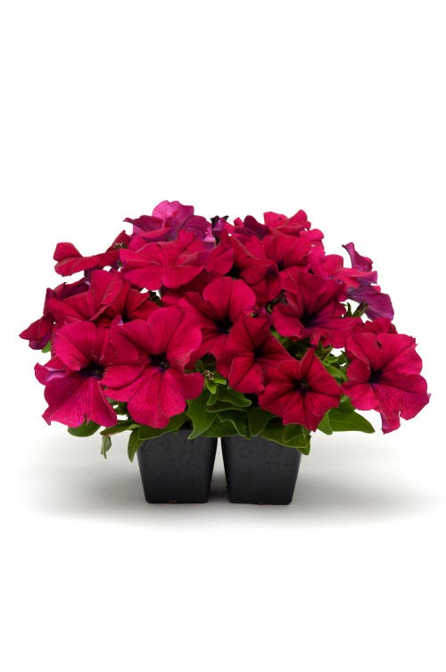 petunia_dreams_burgundy_improved