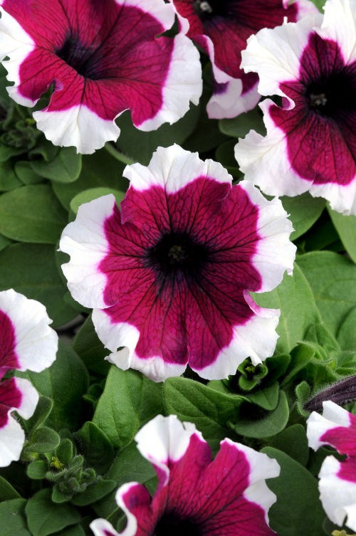 petunia_dreams_burgundy_picotee