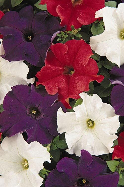 petunia_dreams_patriot_mix