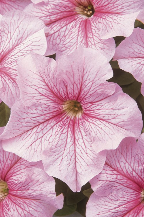 petunia_dreams_pink_vein