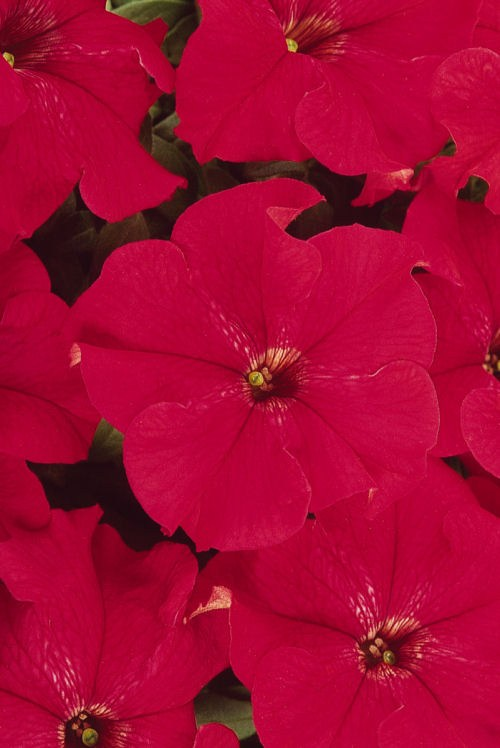 petunia_dreams_red