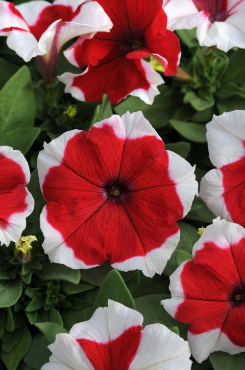 petunia_dreams_red_picotee