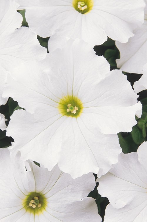 petunia_dreams_white