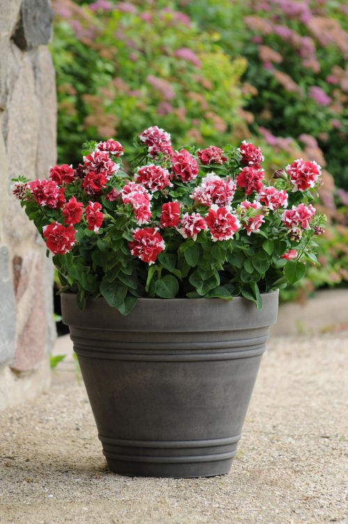 petunia_duo_red_and_white