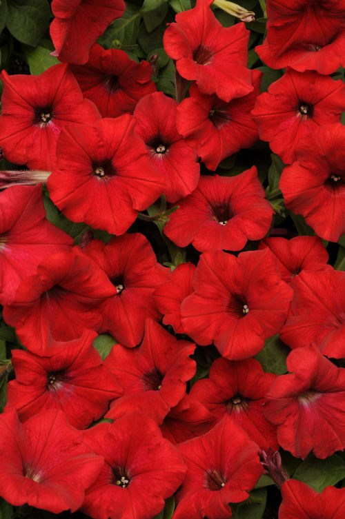 petunia_easy_wave_red