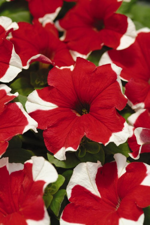 petunia_mirage_red_picotee