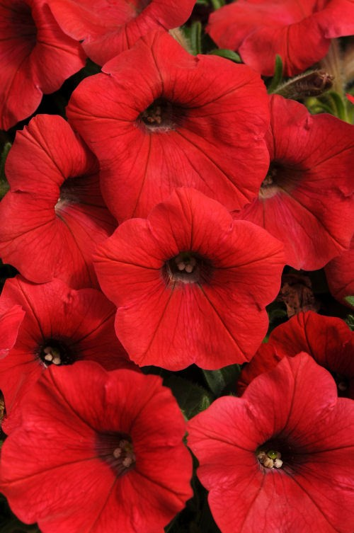 petunia_shock_wave_red