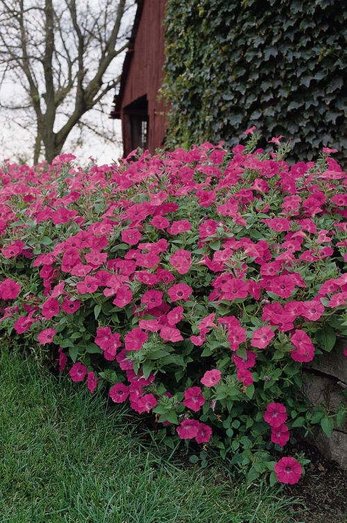 petunia_tidal_wave_hot_pink