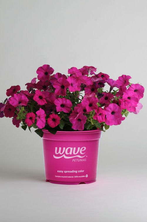 petunia_tidal_wave_purple