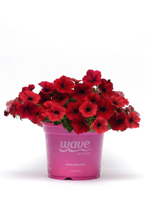 petunia_tidal_wave_red_velour