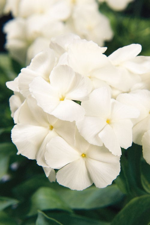 phlox_21th_century_white