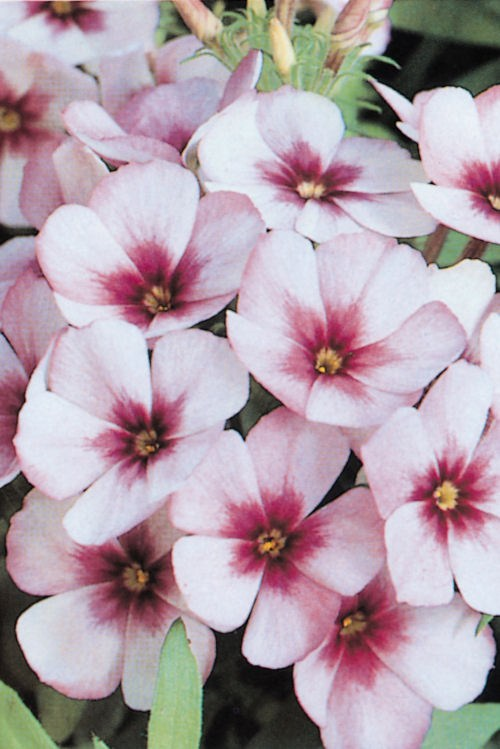 phlox_ethnie_light_blue
