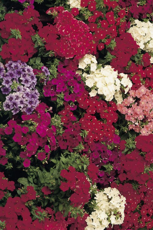 phlox_ethnie_mixture
