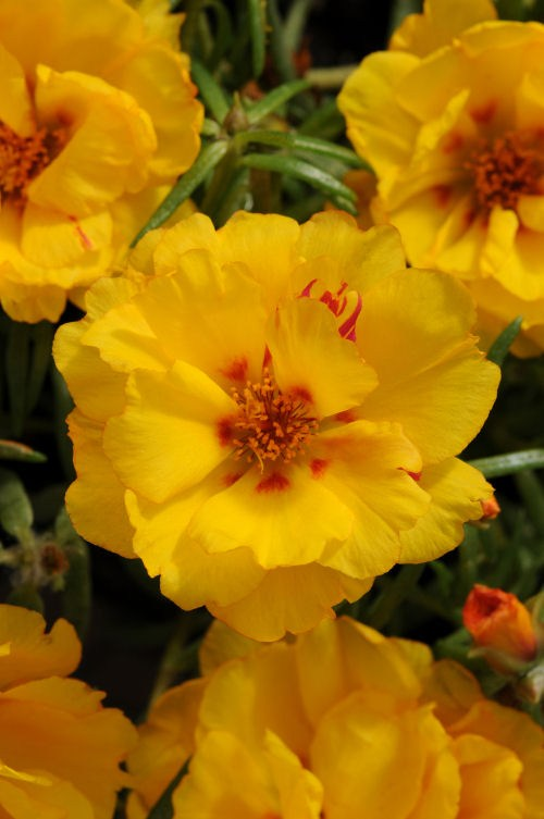 portulaca_happy_hour_banana