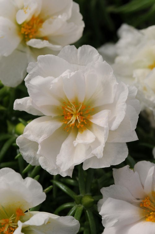 portulaca_happy_hour_coconut