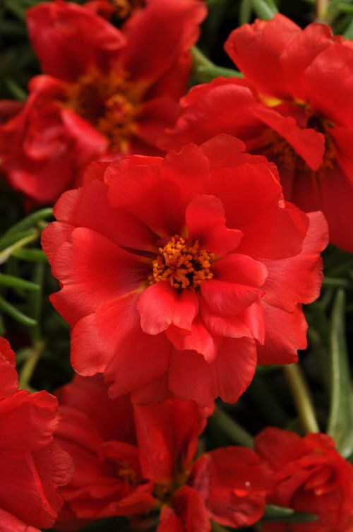 portulaca_happy_hour_deep_red