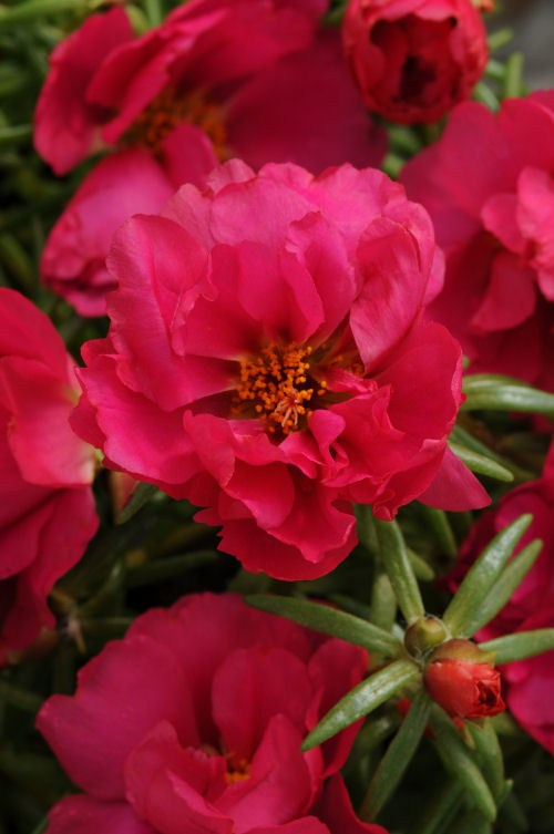 portulaca_happy_hour_fuchsia