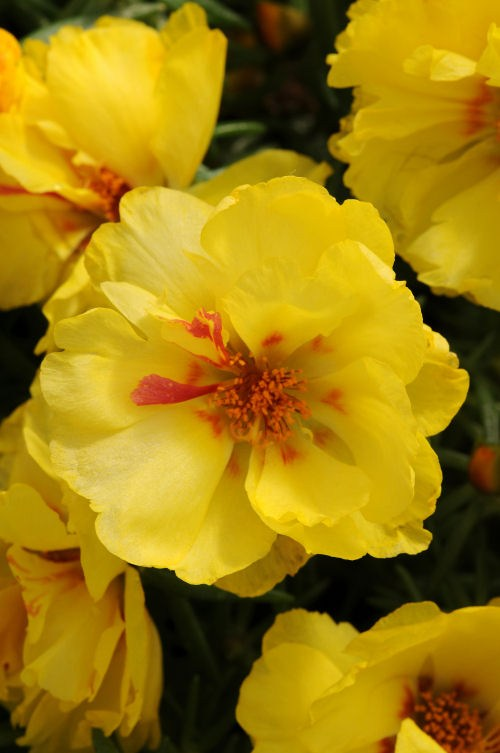 portulaca_happy_hour_lemon