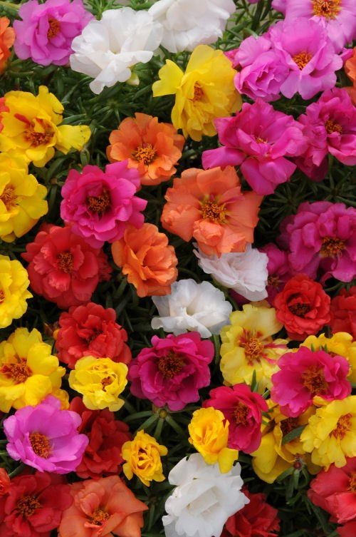portulaca_happy_hour_mix