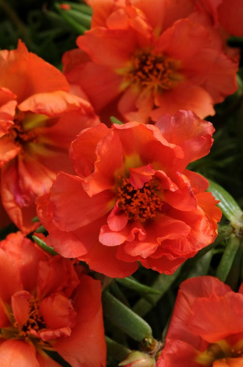portulaca_happy_hour_orange