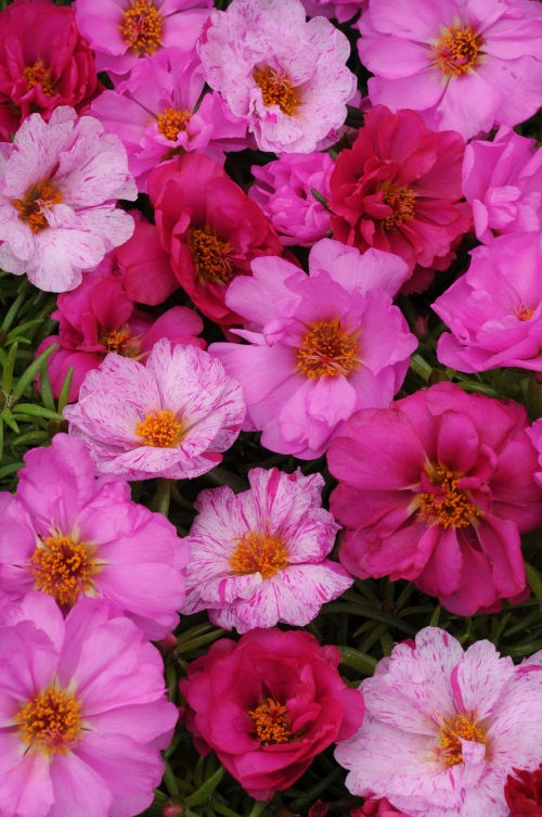 portulaca_happy_hour_pink_passion_mix