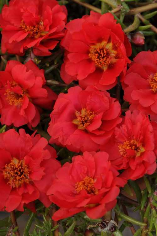portulaca_happy_trails_deep_red