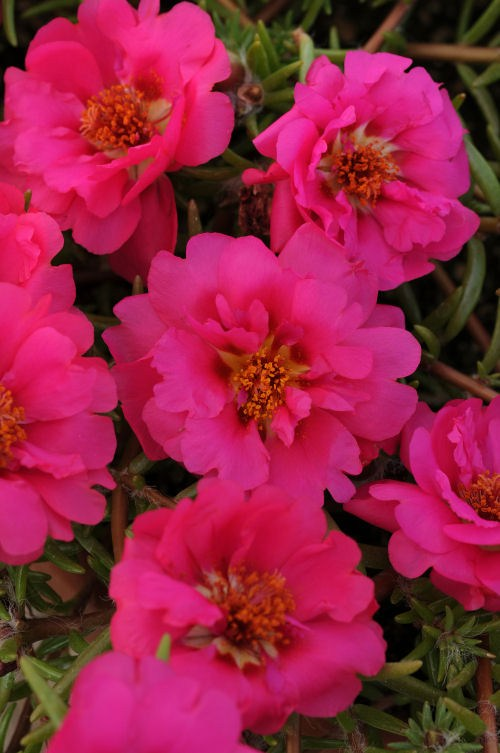 portulaca_happy_trails_fuchsia