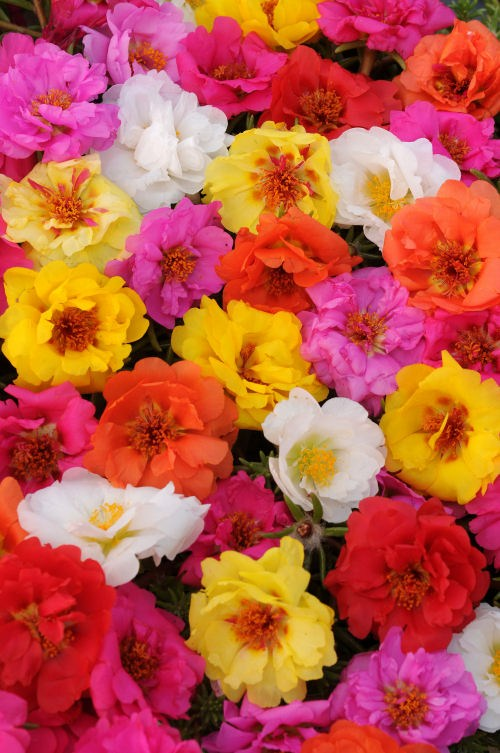 portulaca_happy_trails_mix