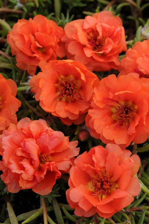 portulaca_happy_trails_orange