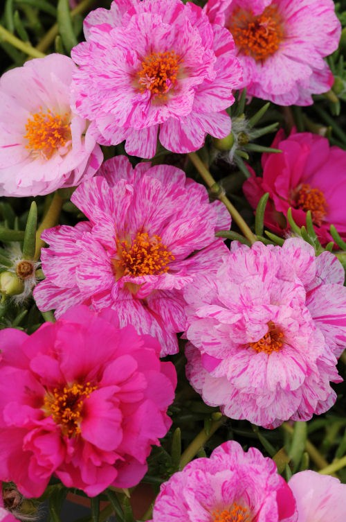 portulaca_happy_trails_peppermint