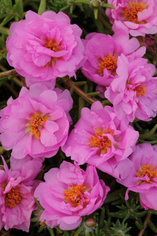 portulaca_happy_trails_pink