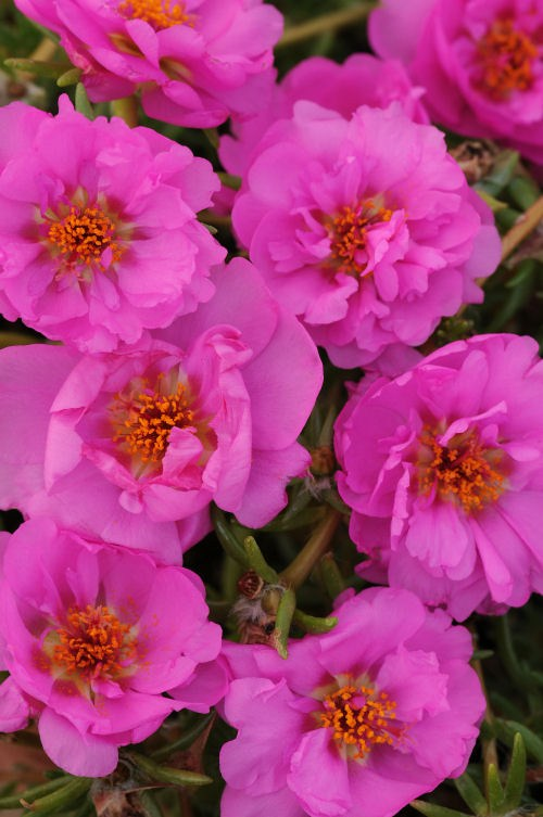 portulaca_happy_trails_rosita