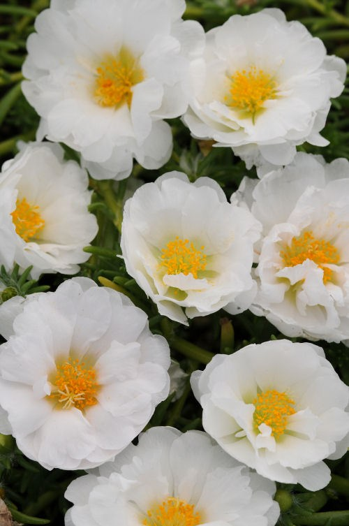 portulaca_happy_trails_white