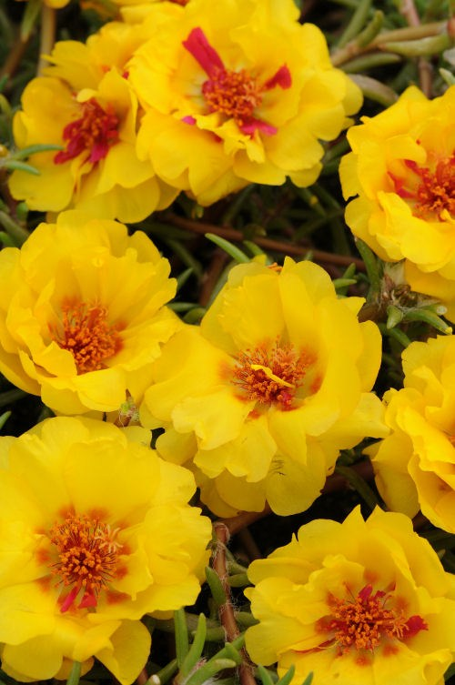 portulaca_happy_trails_yellow