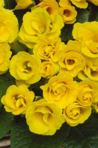 primula_primlet_golden_shades