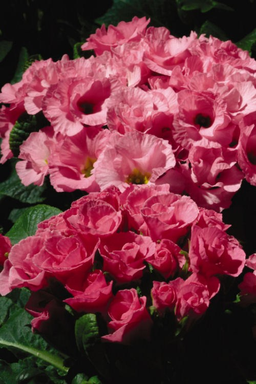primula_primlet_pink_shades