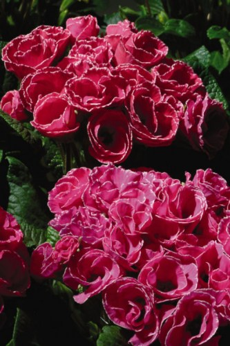 primula_primlet_rose_edge