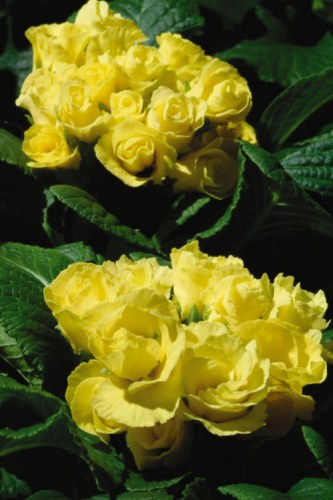 primula_primlet_yellow