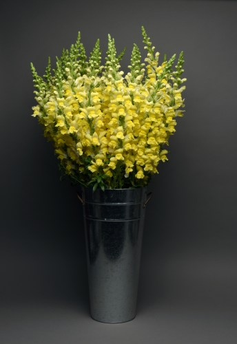 snapdragon_maryland_bright_yellow.jpg