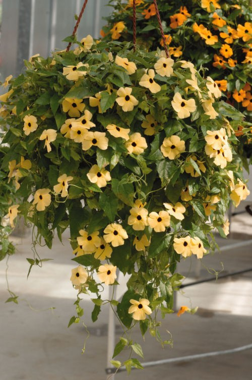 thunbergia_susie_yellow_with_eye