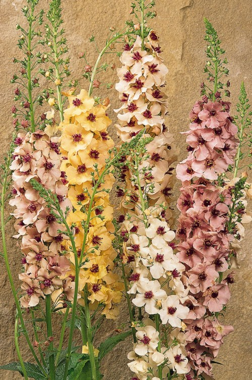 verbascum_southerncharm