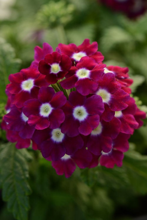 verbena_quartz_xp_burgundy_with_eye