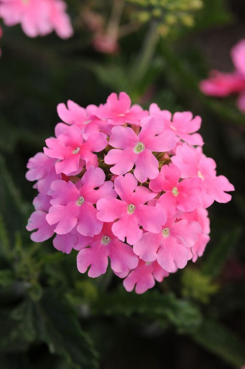 verbena_quartz_xp_pink
